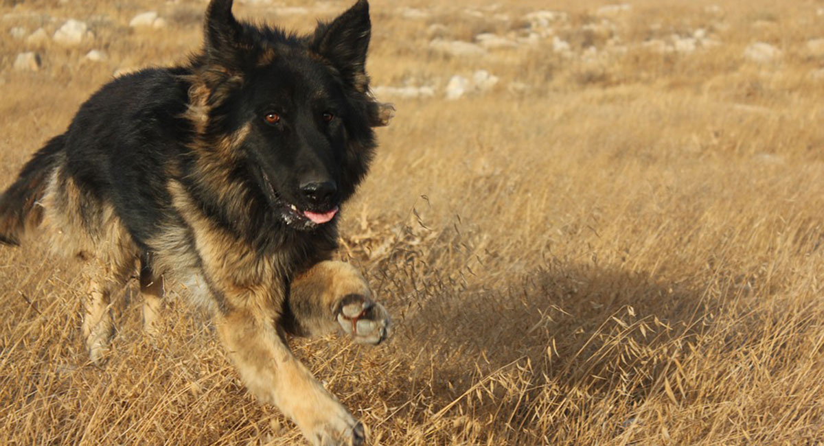 hund gennem sverige til bornholm